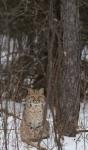 Bobcat Lynx rufus Carlton Co MNIMG_3373