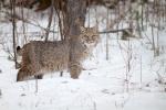 Bobcat Lynx rufus Carlton Co MNIMG_3434