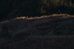 Coyote Teddy Roosevelt National Park NDIMG_7224