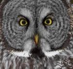 Great Gray Owl Admiral Road Sax-Zim Bog MNIMG_3912