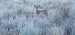 Mule Deer Roosevelt National Park NDIMG_7551