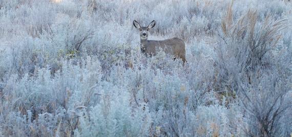 Mule Deer Roosevelt National Park ND IMG_7551