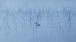 Pied-billed Grebe Stone Lake Sax-Zim Bog MNIMG_2272