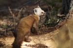 Pine Marten Echo Trail Ely MNIMG_7940