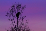Porcupine silhouette Stone Lake Road Sax-Zim Bog MNIMG_7560