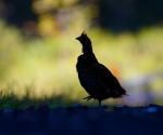 Ruffed Grouse silhouette fall colors Hilpiper Rd Douglas Co WI IMG_0581