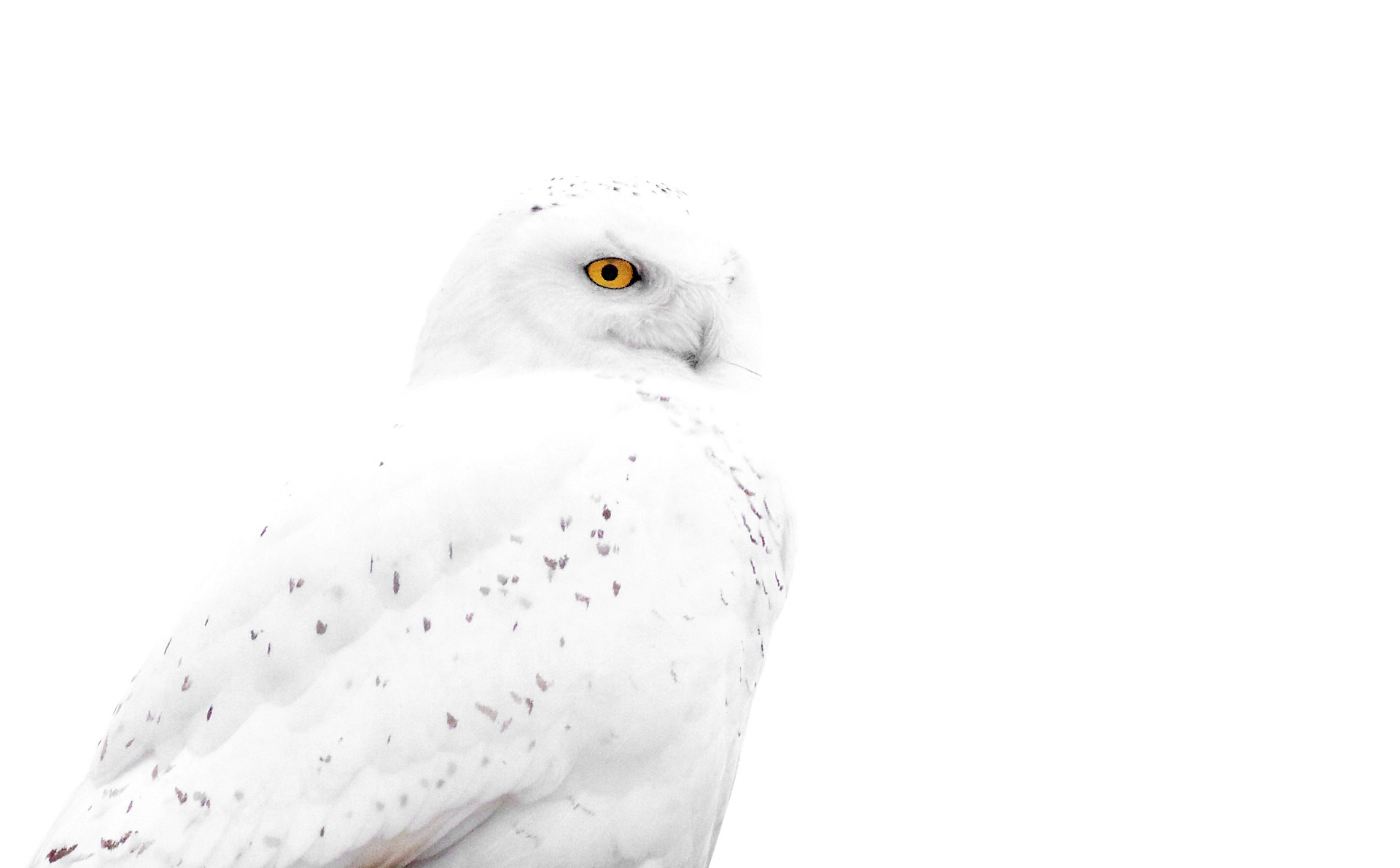 Canada Goose trillium parka sale 2016 - Barred Owl | The PhotoNaturalist