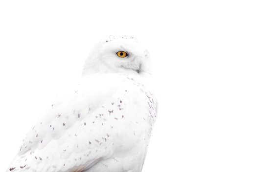 Snowy Owl Menards Superior WI IMG_3701