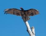 Turkey Vulture sun bathing wings spread Tofte dump Cook Co MNIMG_9670