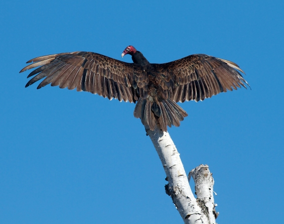 Turkey Vulture sun bathing wings spread Tofte dump Cook Co MN IMG_9670