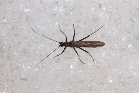 Allocapnia Winter Stonefly St. Croix River at WI 35 WI IMG_1729
