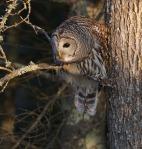 Barred Owl CR18 near Hebron Cemetery Aitkin Co MN IMG_1489