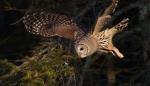 Barred Owl CR18 near Hebron Cemetery Aitkin Co MNIMG_1493