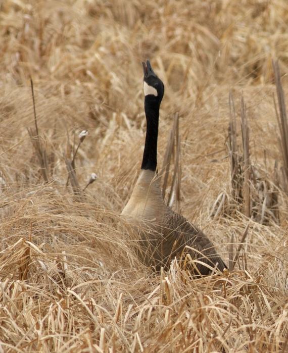 Canada Goose pair Crex Meadows Grantsburg WI IMG_1693