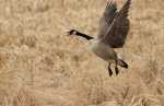 Canada Goose pair Crex Meadows Grantsburg WIIMG_1697