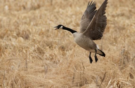 Canada Goose pair Crex Meadows Grantsburg WI IMG_1697