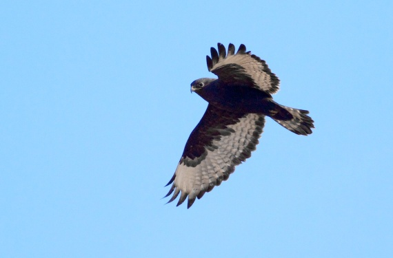 Rough-legged Hawk dark morph Carlton Co MN IMG_1876
