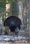 Wild Turkey Skogstjarna Carlton Co MNIMG_1939
