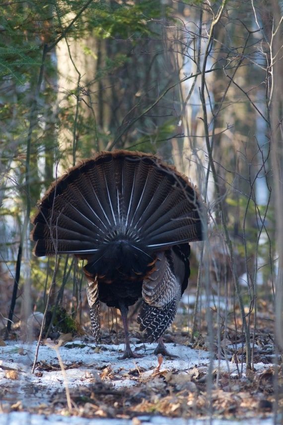 Wild Turkey Skogstjarna Carlton Co MN IMG_1939