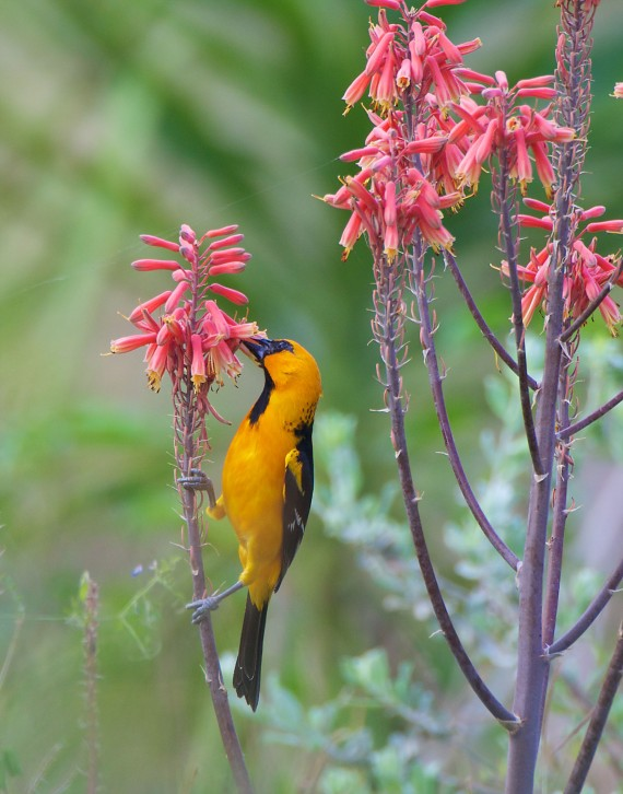 Altamira Oriole feeding Krenmueller Farms Lower Rio Grande Valley TX 640_4030
