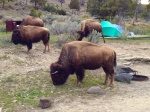 Bison in campsite Mammoth Yellowstone National Park WYIMG_2864