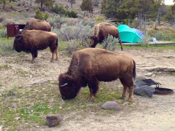 Bison in campsite Mammoth Yellowstone National Park WY IMG_2864
