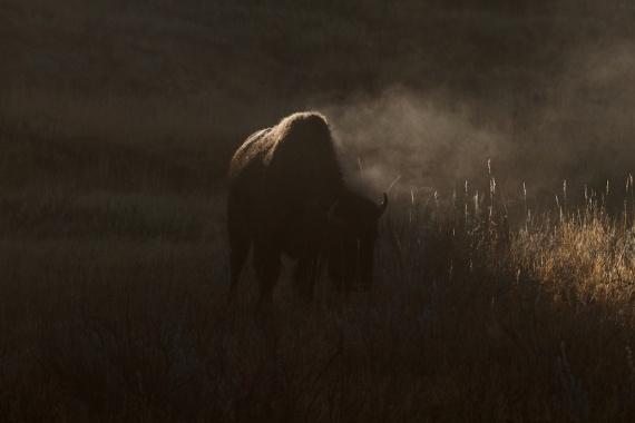 Bison Teddy Roosevelt National Park Medora ND IMG_6248 (1)