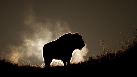 Bison Teddy Roosevelt National Park Medora ND IMG_6336 (1)