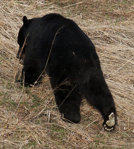 Black Bear Yellowstone National Park WY IMG_4898 (1)