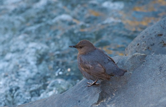 Dipper Yellowstone National Park WY IMG_4432 (1)