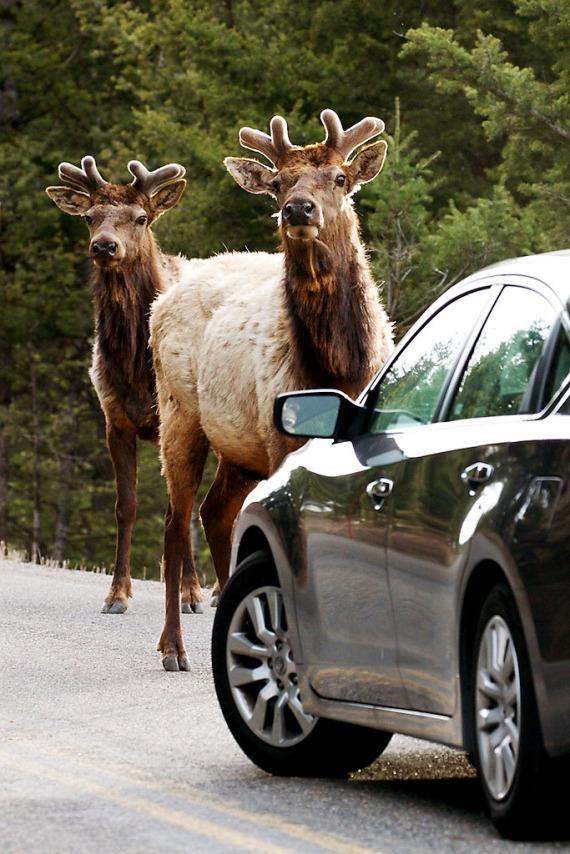 Elk bull in velvet in traffic Yellowstone National Park WY IMG_4926 (1)