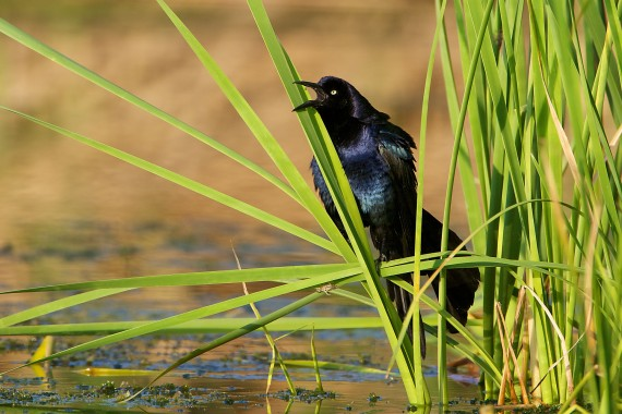 Great-tailed Grackle resaca cattails Krenmueller Farms Lower Rio Grande Valley TX 665_6561
