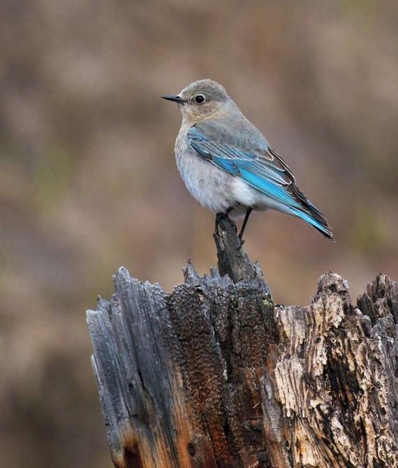 Mountain Bluebird female Yellowstone National Park WY IMG_5440 (1)