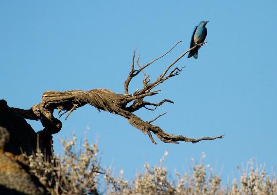 Mountain Bluebird Teddy Roosevelt National Park Medora ND IMG_6449 (1)
