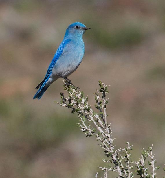 Mountain Bluebird Yellowstone National Park WY IMG_4466 (1)