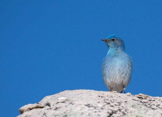 Mountain Bluebird Yellowstone National Park WY IMG_4505 (1)