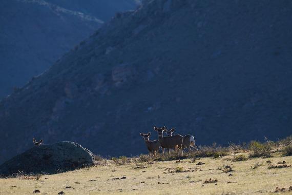 Mule Deer rim light IMG_4266 (1)