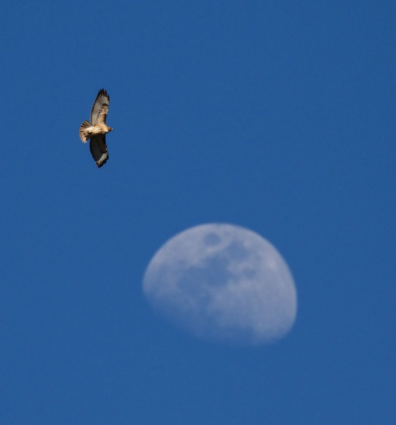 Red-tailed Hawk and moon Yellowstone National Park WY IMG_3979 (1)