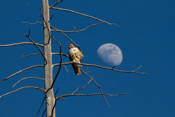 Red-tailed Hawk and moon Yellowstone National Park WY IMG_4074 (1)