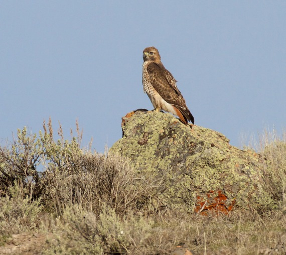 Red-tailed Hawk Yellowstone National Park WY IMG_4790 (1)