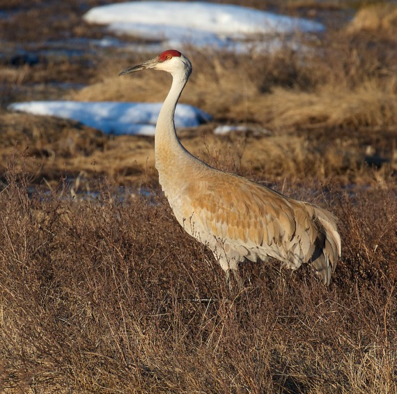Sandhill Crane Yellowstone National Park WY IMG_4094 (1)