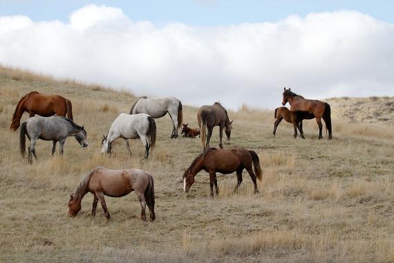 Wild Horse Teddy Roosevelt National Park Medora ND IMG_6076 (1)