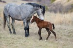 Wild Horse Teddy Roosevelt National Park Medora ND IMG_6094(1)