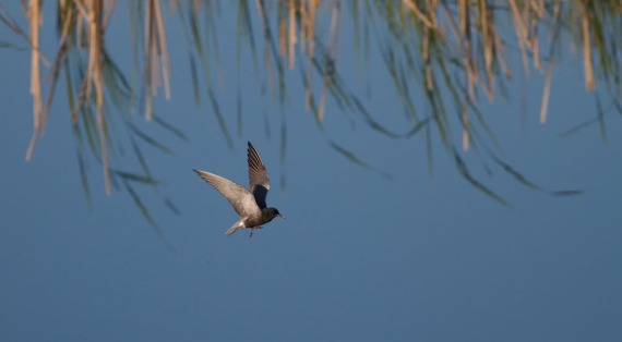 Black Tern and cattail reflection IMG_1105
