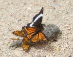 butterflies on wolf poopIMG_1656