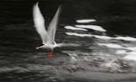 Forster's Tern Agassiz National Wildlife Refuge NWR Marshall Co MNIMG_0497