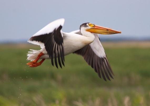 pelican IMG_0571