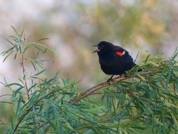 Red-winged Blackbird IMG_0708