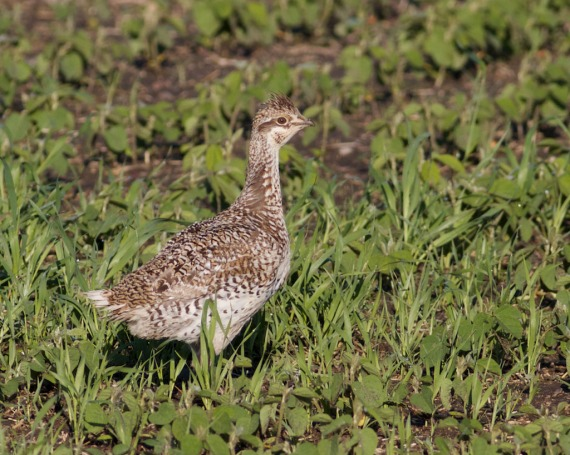 Sharp-tailed Grouse in crop field near Thief Lake WMA Marshall Co MN IMG_1331