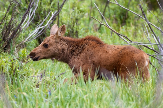 Moose Calf Rocky Mountain National Park CO IMG_2987